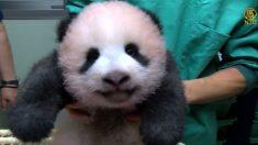 [영상] 도쿄 우에노 동물원, 3개월 된 아기 판다 공개