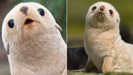 1000마리 중에 1마리 꼴로 태어나는 '금색 인절미' 남극 물개
