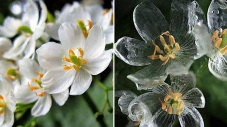 비에 젖을수록 다 비치도록 투명해지는 '유리꽃' 산하엽