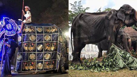화려한 축제 의상을 벗기자 '뼈만 남은' 코끼리의 '충격적인 모습'이 드러났다