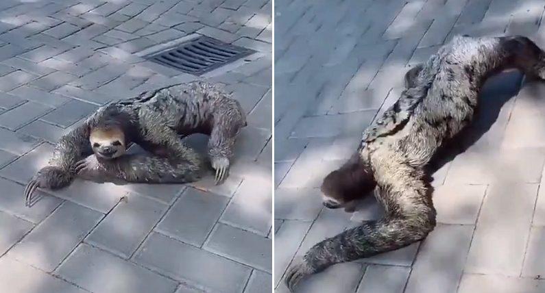 동심 와르르 무너지게 만드는 나무늘보의 리얼한 걸음걸이 (영상)