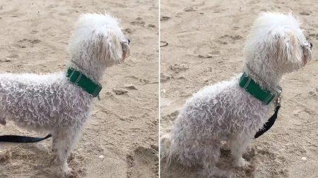 바닷가에서 '출입 금지' 당하고 아쉬워 낑낑거리는 강아지 (영상)