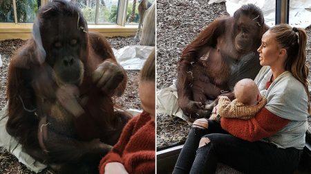 새끼 잃은 오랑우탄이 모유 수유 중인 엄마에게 다가가 보인 반응