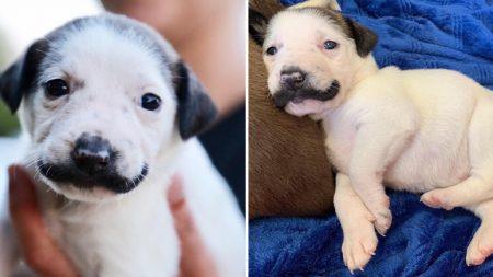구조된 후 모태 '콧수염' 덕분에 인기 스타 된 강아지
