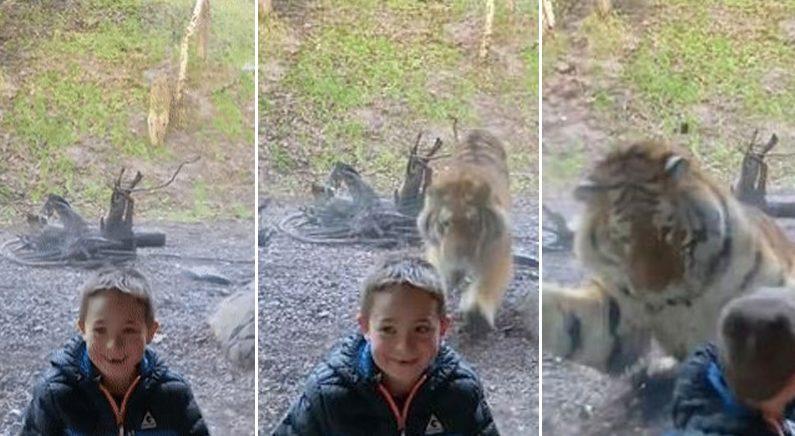 동물원 우리 앞에서 기념 촬영하고 있는 아이를 본 호랑이가 보인 반응