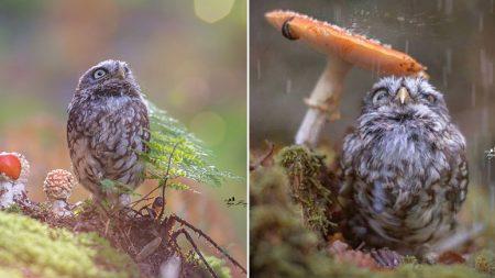 소나기 내리자 '버섯' 밑에 쏙 들어가 비 피하는 아기 올빼미