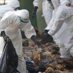 엎친 데 덮친 중국…우한시와 가까운 후난성에 치사율 높은 조류독감 발병