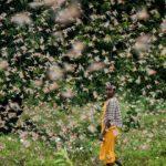 동아프리카, 수십억 메뚜기떼 습격에 '식량 부족' 비상사태