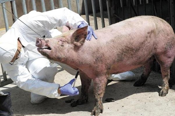 코로나에 묻힌 中 돼지열병, 정권 정보통제·은폐 속에서 또 다른 재난 조짐