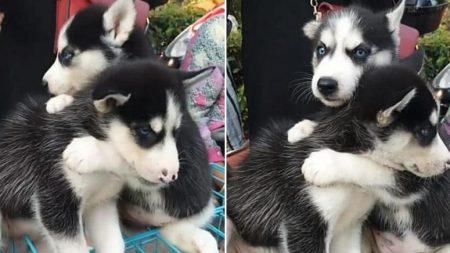 시장서 팔려가는 동생과 헤어지지 않으려 꼭 안고 놓지 않는 형 강아지