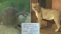 코로나로 문 닫은 대구 동물원에서 수달이 죽고 사자가 말라가고 있다 (영상)