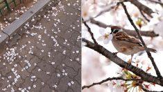 길거리에 벚꽃이 꽃송이째로 우수수 떨어져 있는 달콤하고 귀여운 이유