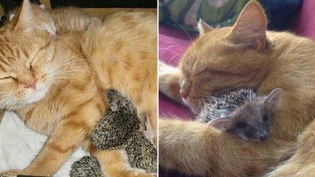 뾰족한 가시에 찔리면서도 어미 잃은 아기 고슴도치들 젖 물리며 돌봐준 '천사' 고양이