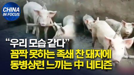 '족쇄 찬 돼지' 영상에 동병상련 느끼는 중국 네티즌들