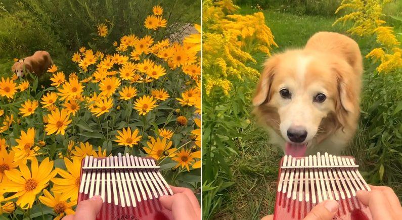 산책 나왔다가 아름다운 칼림바 소리에 이끌려 찾아온 강아지 (영상)