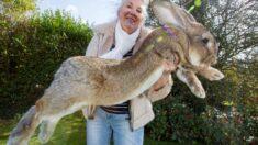 몸길이 129㎝, 세계에서 가장 긴 토끼가 밤사이 사라졌다
