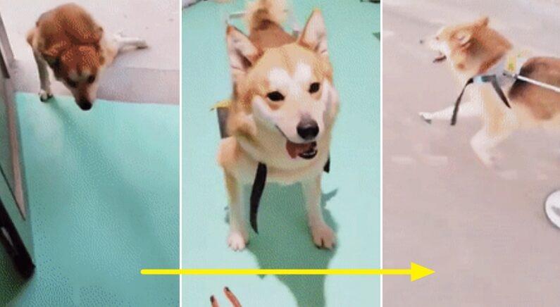 휠체어 선물 받고 세상을 다 가지게 된 시골 강아지가 가장 먼저 한 행동 (영상)