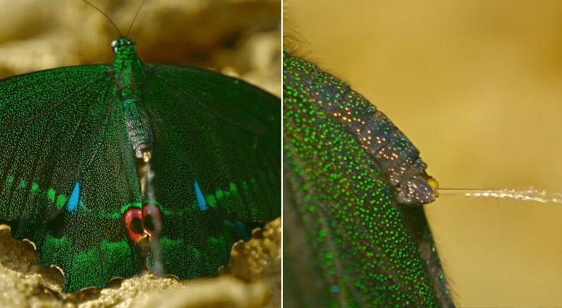 평생 살면서 한 번 보기도 힘든 나비의 모습, 고화질 카메라에 담겼다 (영상)
