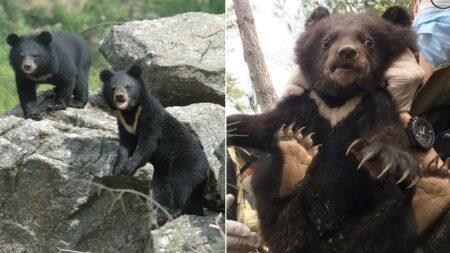 """""""살고 싶어서…"""" 오늘(6일) 용인서 어린 곰 2마리 탈출…1마리 사살·1마리 추적 중"""