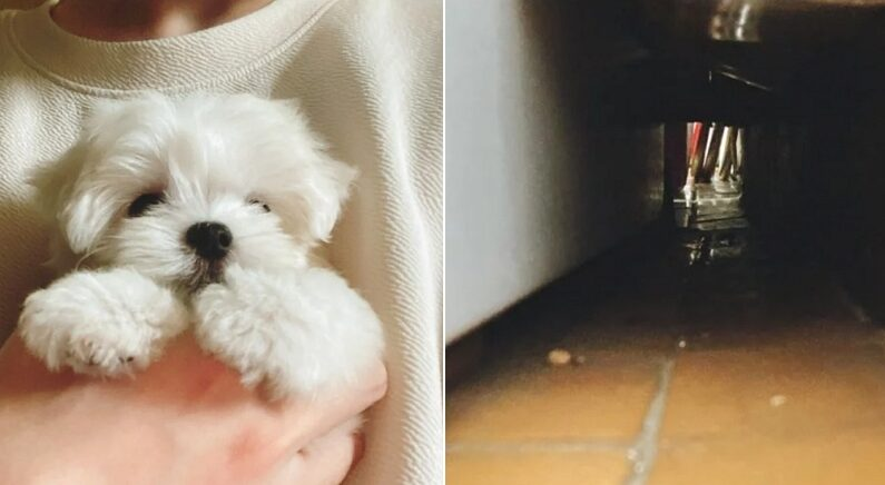 옆집 베란다 구멍에서 넘어와 혼자 탐험 놀이하다가 딱 걸린 아기 강아지