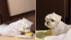 누나에게는 그 어떤 것도 뺏길 수 없는 강아지 오복이(영상)