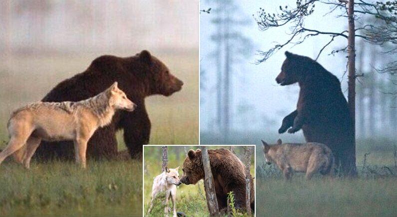 """""""둘 다 어렸을 때 혼자 다니다가 서로 만나 친해졌다"""" 자연에서 친구가 된 늑대와 곰이 포착됐다"""