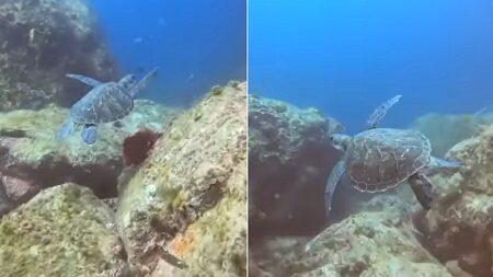 우리나라 앞바다에서 헤엄치는 '행운의 상징' 멸종위기종 푸른바다거북이 발견됐다 (영상)